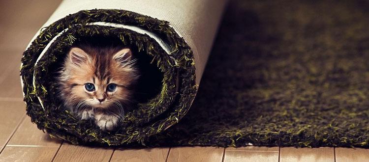 catcarpet