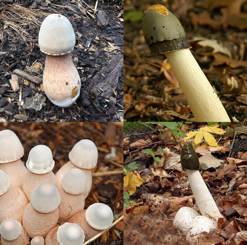 Dit is een afbeelding van piemel champignon