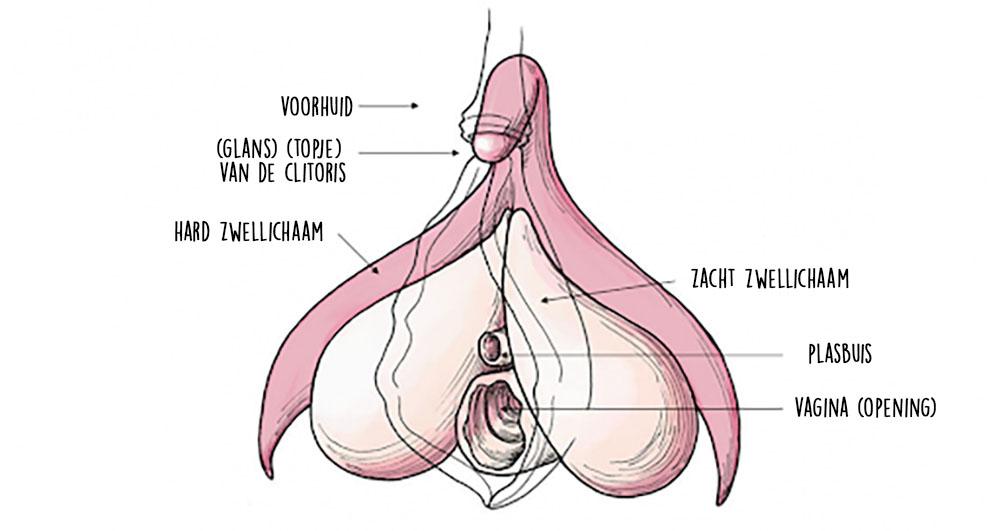 Dit is een afbeelding van anatomie van de clitoris